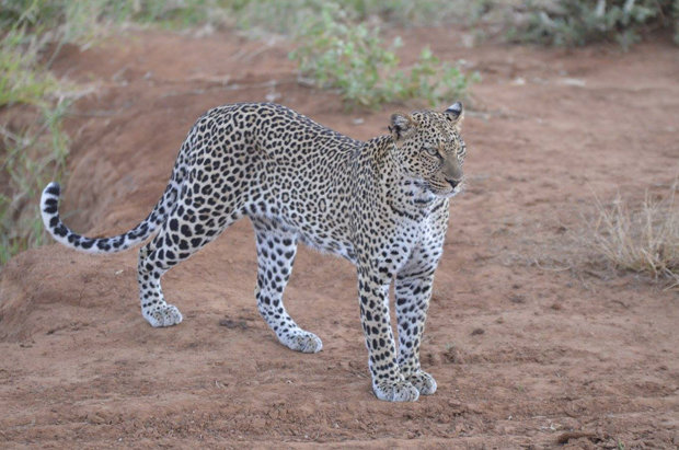 Masai Mara tour in Kenya allows you to see leopards and other big cats