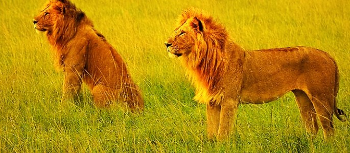 In Masai Mara lions are seen in prides during Kenya tour and safari