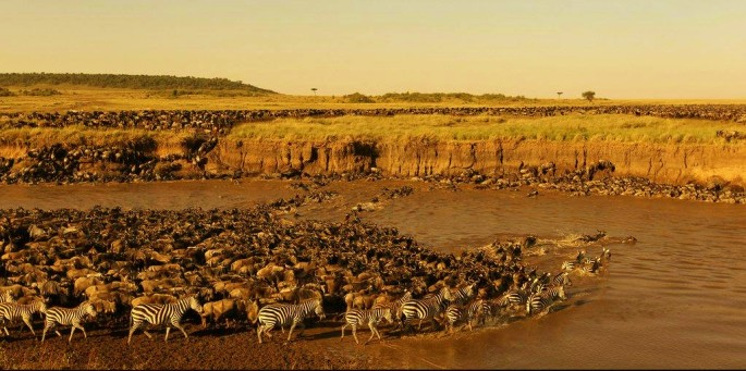 Wildebeest migrating in Kenya across Mara River as seen from Masai Mara tour