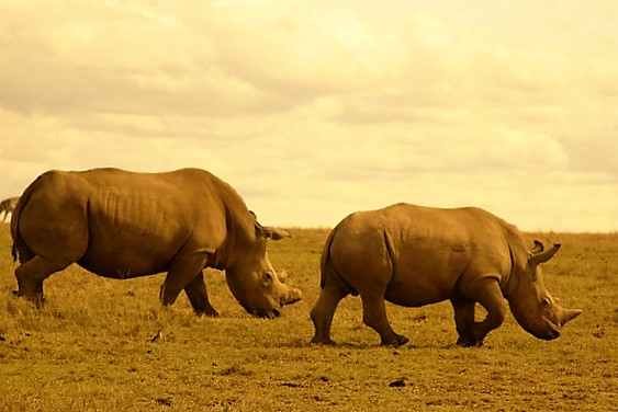 Rhinocers are seen in Masai Mara. They are members of the big five. Kenya safari allows you Masai cultural tour