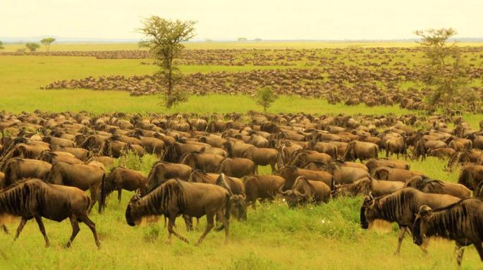 Masai Mara wildebeest migration tour in Kenya is the most popular Kenya safari